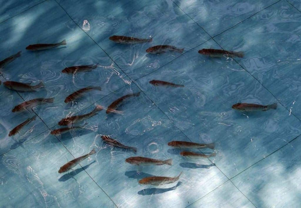 Tilapia are a fish of choice for an aquaponics setup.