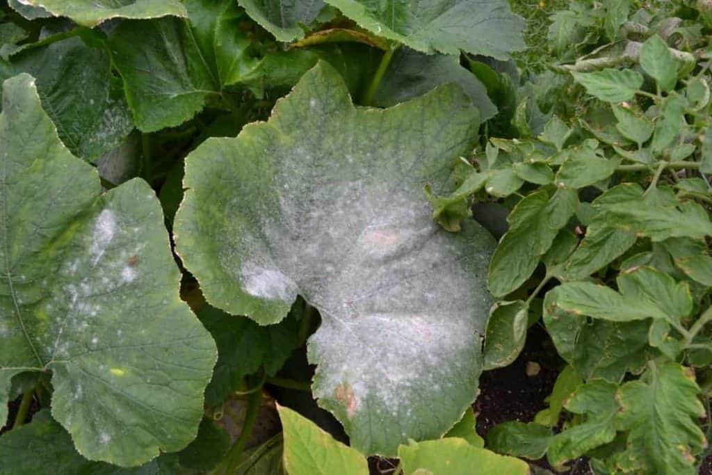 Powdery mildew on a zucchini plant