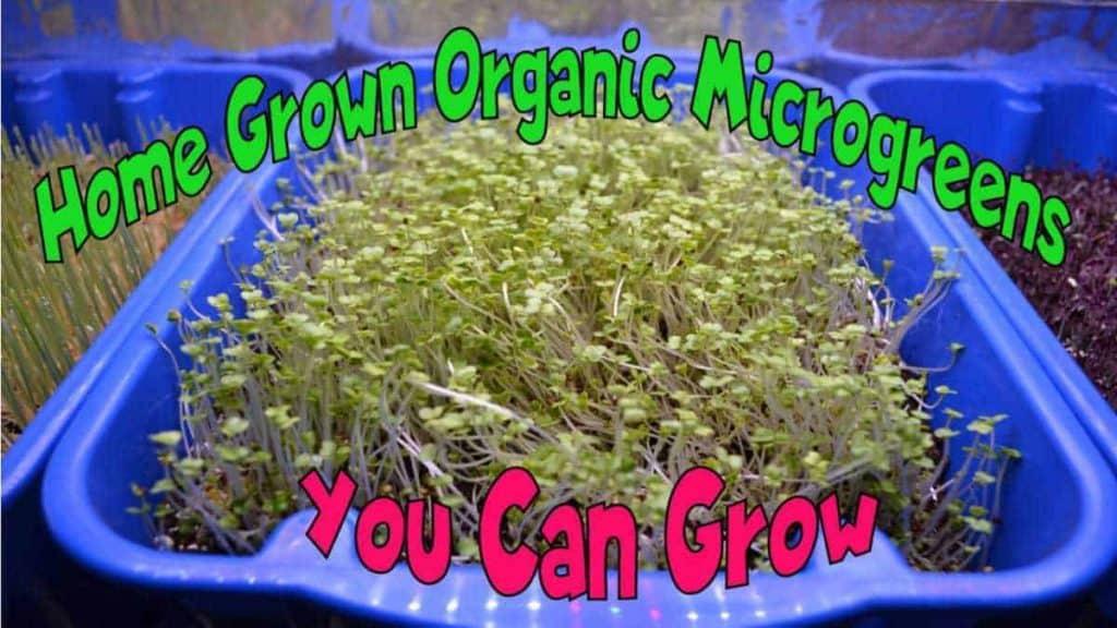 Home Grown Organic Microgreens