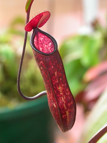 A specialized pitcher leaf is shown in this photo.