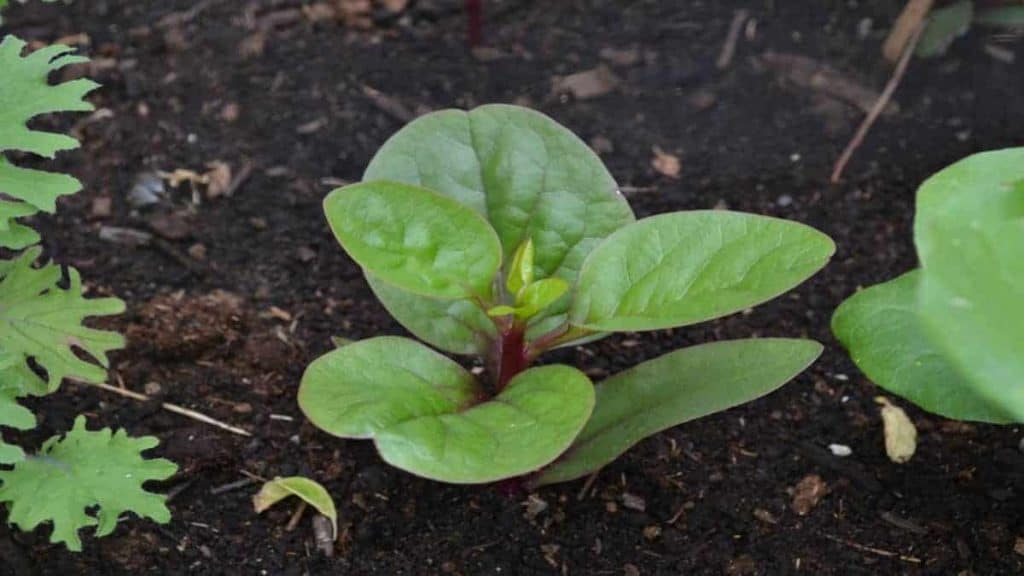 Juvenile Red Malabar Spinach is shown in this file photo.