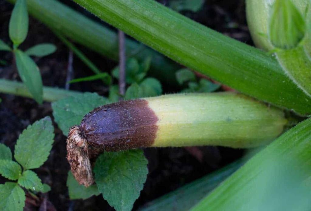 zucchini turning yellow and rotting