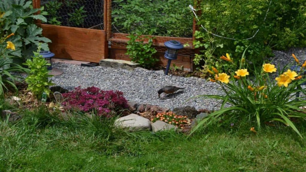 A robin in my organic gardening gravel path.
