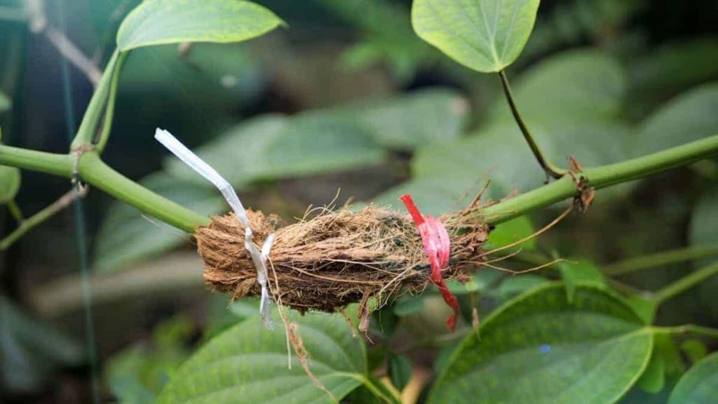 why graft chili plants 2